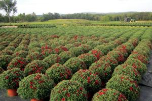 Chrysanthemum-Field