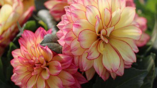 California Spring Trials 2018: New Varieties to Watch From American Takii, Hilverdakooijj, Hem Genetics, Thompson & Morgan, Sakata Ornamentals, and Ernst Benary of America
