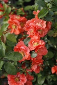 Double-Take-Peach-quince