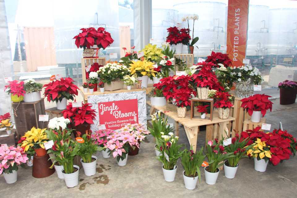 Dummen-Christmas-Decorating