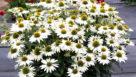 Echinacea-Kismet-White-Terra-Nova-Nurseries