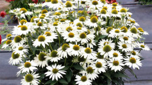 Terra Nova Nurseries Debuting New Heuchera, Echinacea Varieties