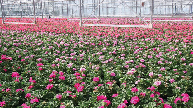 Geraniums-in-greenhouse-feature