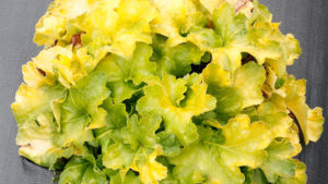 Heuchera-Lemon-Supreme-Terra-Nova-Nurseries