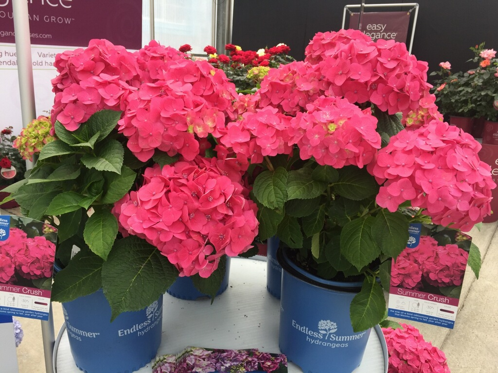 Hydrangea-Endless-Summer-Summer-Crush-Bailey-Nurseries