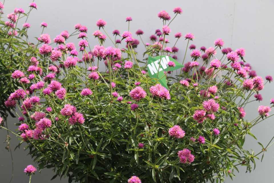 Gomphrena Truffula Pink (Proven Winners)