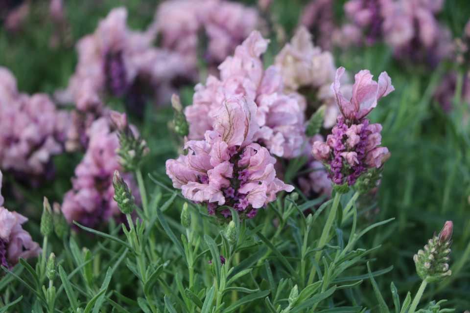 Lavender-Madrid-Lavish-Green-Fuse-Botanicals