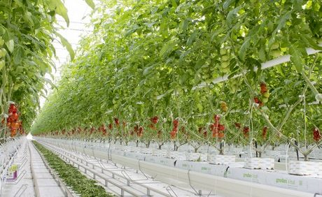 Mucci Farms Completes First Phase of its New Ohio Tomato Greenhouse