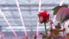 Philips-Lighting-rose-toplighting-recipe