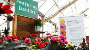 Syngenta Flowers Acquires Netherlands-Based Dahlia Breeder