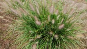 Pennisetum Hush Puppy is Easy to Grow and Won't Reseed