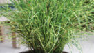 Miscanthus-Bandwidth EmeraldCoastGrowers