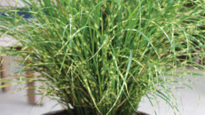 New Sterile Ornamental Grasses One Solution to Grass Invasion