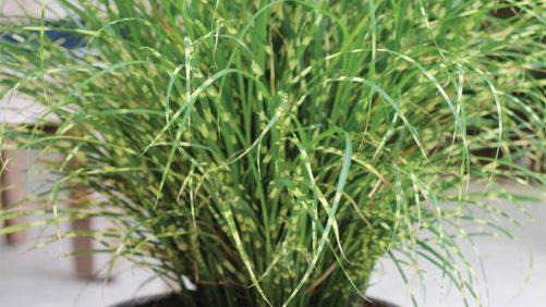 New Sterile Ornamental Grasses One Solution to Grass Invasion