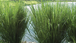 Allan Armitage: Three Ways to Market Grasses as Great Ornamentals