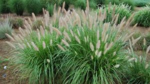 Pennisetum 'Etouffee'™: Beautiful and Well Behaved