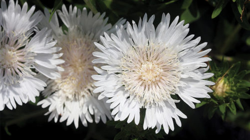 Growing Tips From an Expert for Stokesia 'Divinity'