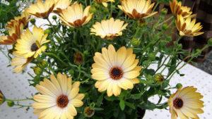 Beekenkamp Plants Acquires Sunny Osteospermum Breeding Program