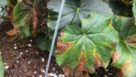 Xanthomonas-Lesions-in-Begonia