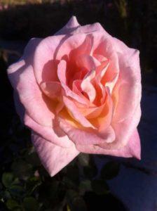Brindabella Rose (Suntory Flowers)