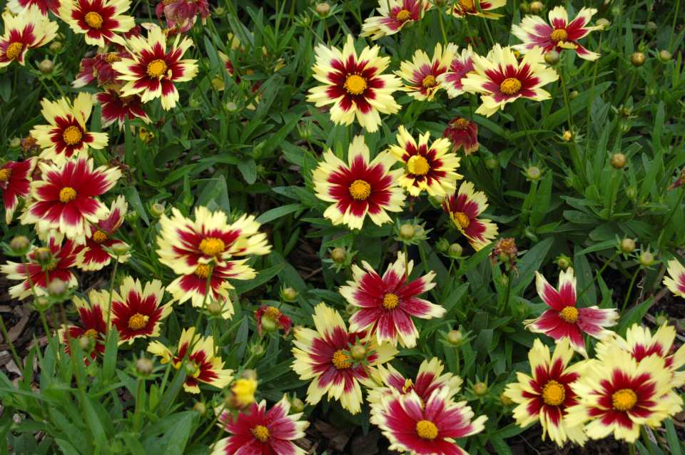 Coreopsis Super Star plant breeders