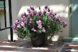 Lavandula-Madrid-Lavish-Pink-Green-Fuse-Botanicals