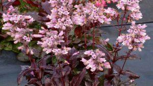 Terra Nova Debuts New Hardy Penstemon Variety