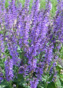 Salvia 'Blue By You' (Darwin Perennials)