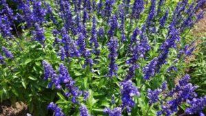 Danziger, Syngenta Flowers Partner on New Perennials Marketing Initiative