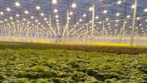 Greenhouse-Grown Romaine Deemed Safe, Labeled Product Returns to Stores