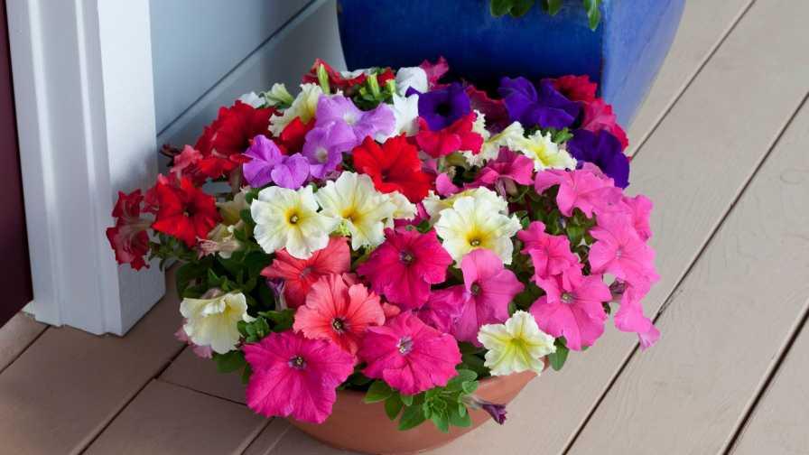 Floranova Petunia Prism Mixed
