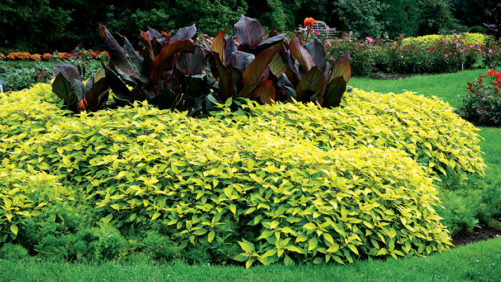 Why Gold Foliage Has Become the Darling of Plant Lovers