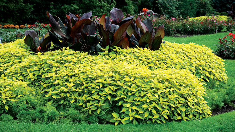 Salvia-elegans-Golden-Delicious-feature