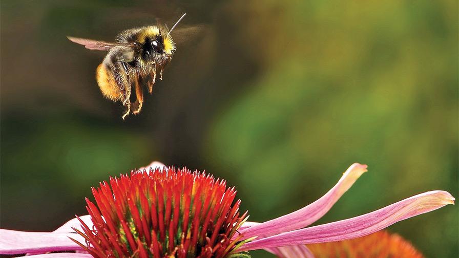 Bee-landing-on-echinacea-feature