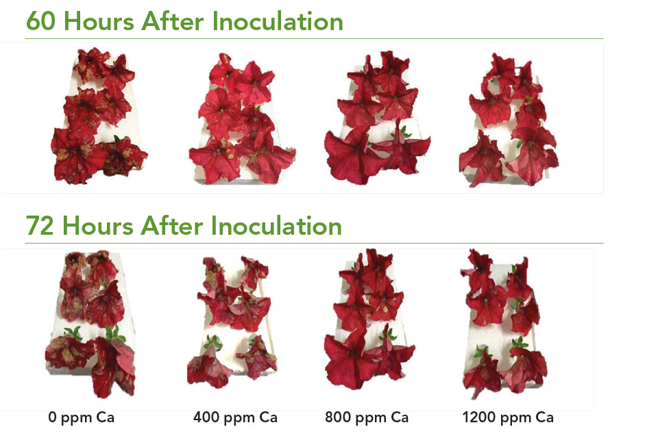 Effect-of-Calcium-Chloride-Sprays-on-Petunias