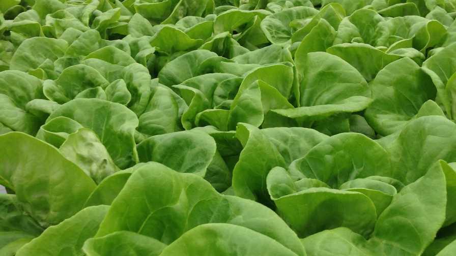 Griffin workshop lettuce production