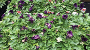 How to Prevent Petunia Flower Meltdown From Botrytis