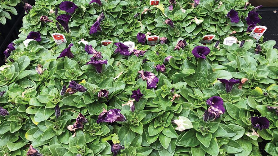 Petunia-Flower-Meltdown-from-Botrytis