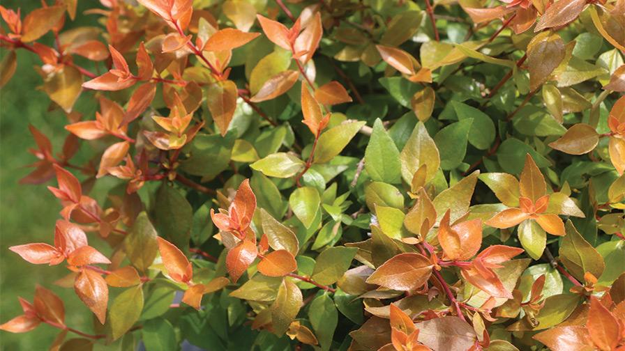 Abelia-Grandiflora-Funshine-Walters-Gardens-Proven-Winners-ColorChoice-Shrubs ornamental shrubs
