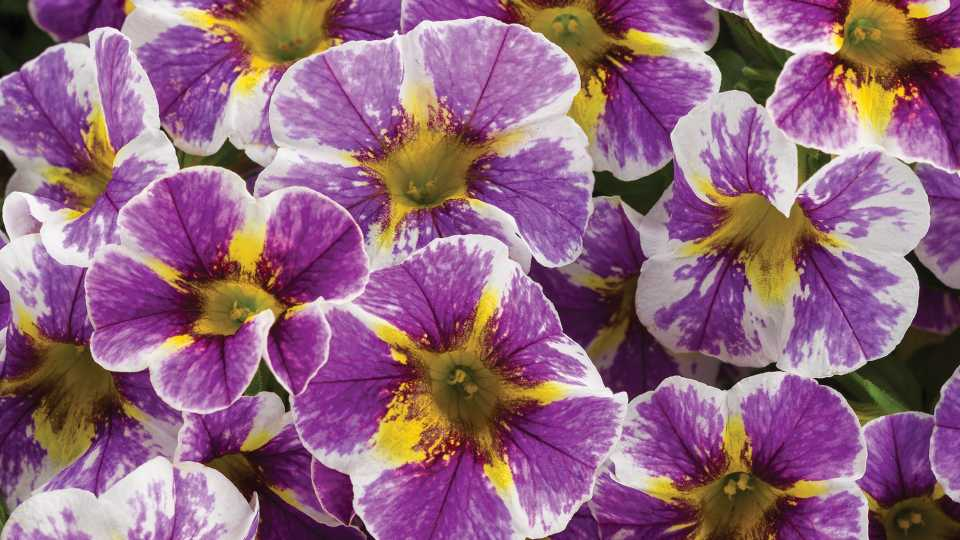 Calibrachoa 'Superbells Holy Smokes!' from Proven Winners