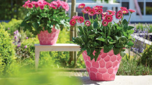 Growing Tips for Garvinea Gerbera Daisy From Costa Farms