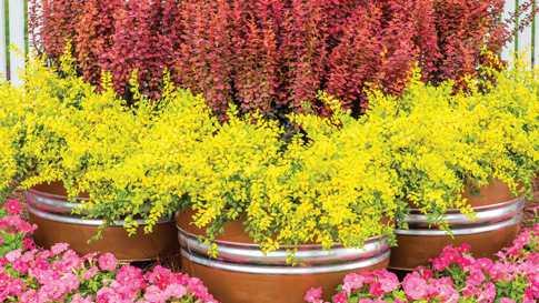 Sunshine-Ligustrum Southern Living Plant Collection