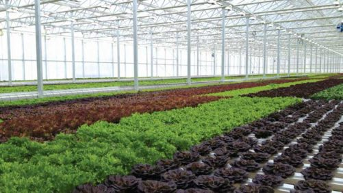 Great Lakes Growers to Add 80,000 Square Feet of Herbs, Leafy Greens Production