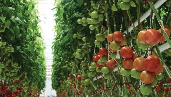 Tomatoes on the Vine at Vineland