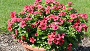 New Annuals That May Interest Gardeners in 2019