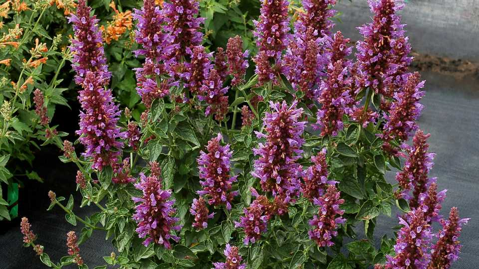 Agastache Poquito Dark Blue Terra Nova James Greenhouses