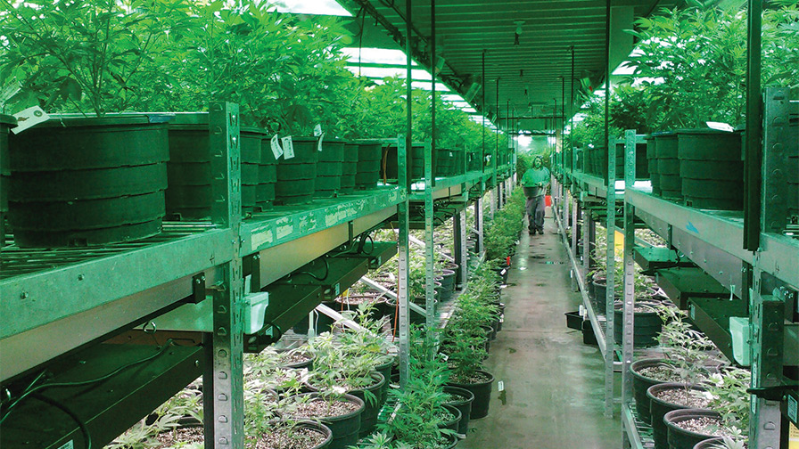 Cannabis-Facility-feature greenhouse leasing