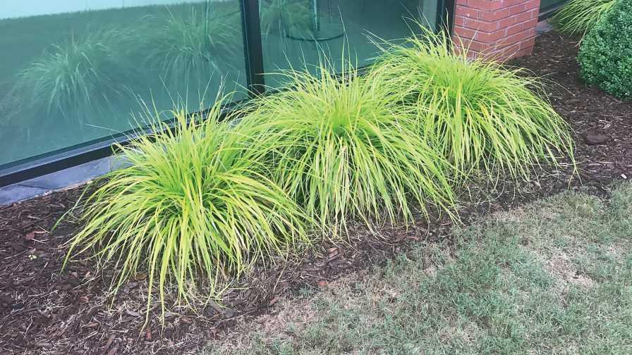 Carex Everillo in the landscape