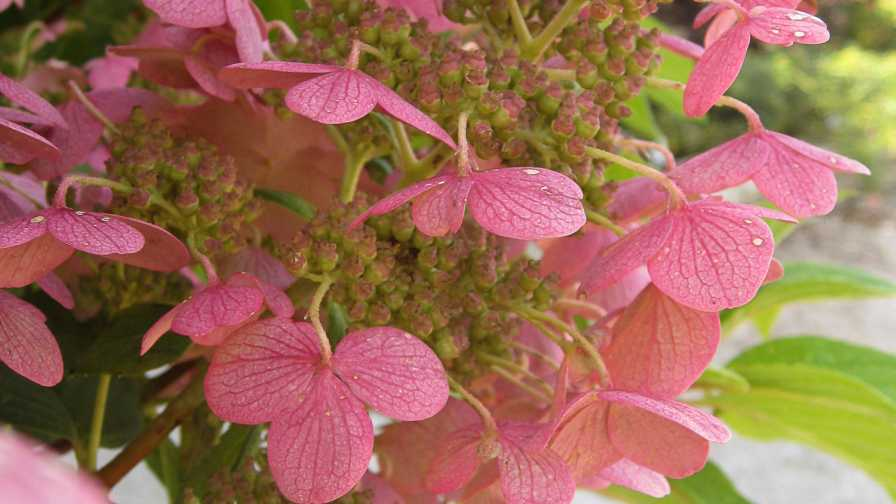 Hydrangea Quick Fire cut flowers of the year