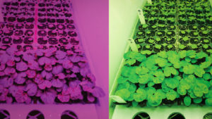 Growing Ornamental Seedlings Under White LEDs